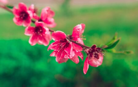 wild flowers sakura bush in the blurry background