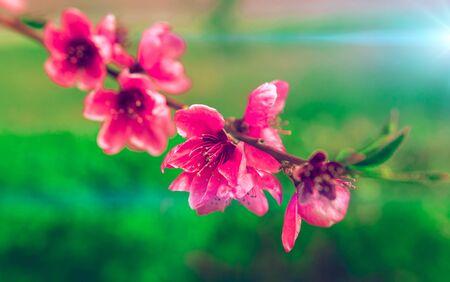 wild flowers sakura bush sunset in the blurry background 版權商用圖片