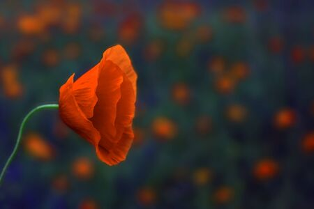 wild poppy flower  on a blurred background . Remembrance Day.