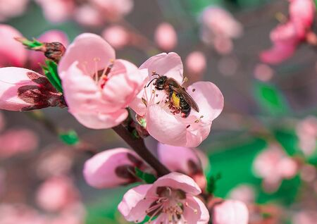 insect  bee pollinates a beautiful pink flower in the summer Фото со стока