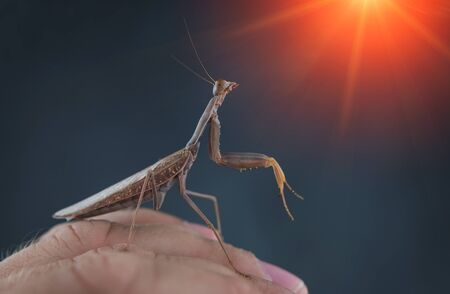 Insect hunter attacks at sunset. Mantis is a terrible monster of wildlife. Mantis in attack. Фото со стока