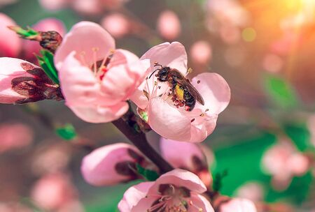 insect  bee pollinates a beautiful pink flower in the summer at sunset.