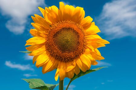 sunflower summer flower close-up, against a background of clouds. agroculture, harvest. 写真素材