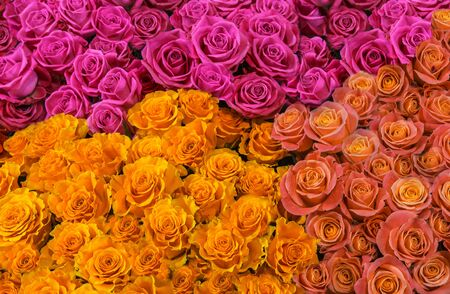 fresh colorful roses isolated close-up. background of pink, white and yellow roses. 写真素材