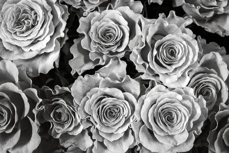 black and white roses isolated on a black background. Greeting card with roses