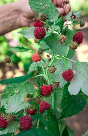 ripe raspberries in garden. Red sweet berries growing on raspberry bush. Foto de archivo