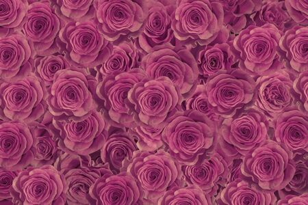 lilac, purple roses isolated on a black background. Greeting card with roses