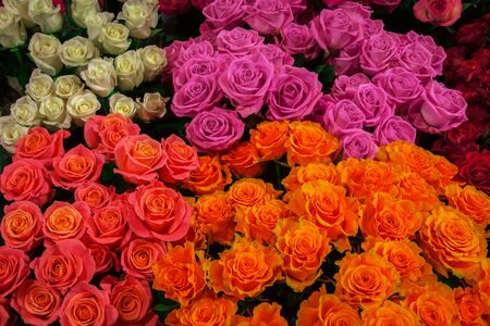 fresh colorful roses isolated close-up. background of pink, white and yellow roses. Foto de archivo