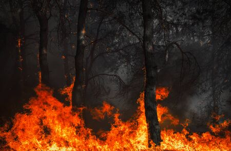 fire. wildfire, burning pine forest in the smoke and flames.