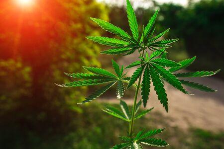 bush neon marijuana on blurred  background. bush cannabis. Foto de archivo