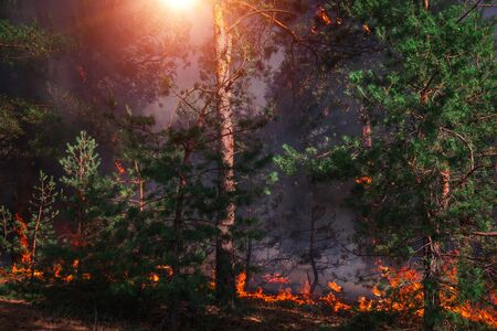 fire. wildfire at sunset, burning pine forest in the smoke and flames.