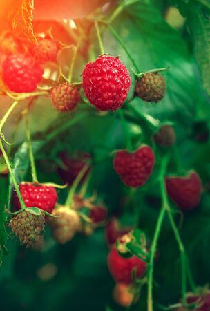 ripe raspberries in garden at sunset. Red sweet berries growing on raspberry bush.
