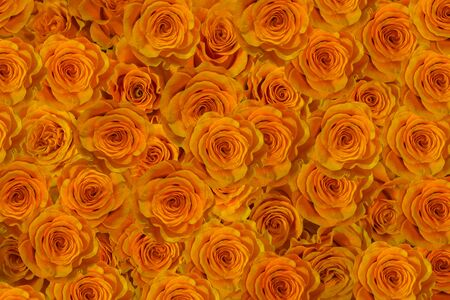 buds gold yellow roses close-up. flowers of love.
