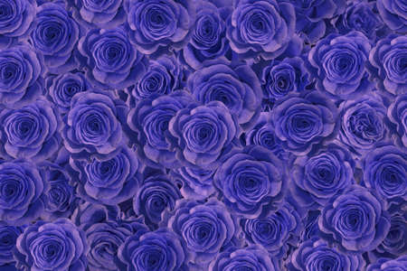 blue roses  isolated on a black background. I love you.