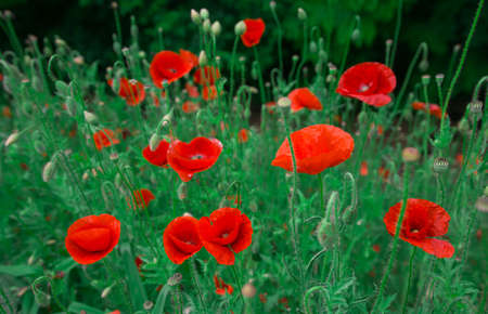 wild flowers poppies in a field with grass at sunset Foto de archivo - 150947353