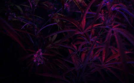bush neon marijuana on blurred background. bush cannabis.