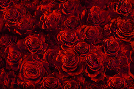 fresh red roses isolated on a black background.vertical greeting card with roses