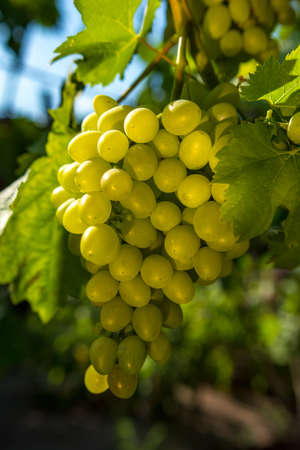 wine grapes, a ripe bunch of green grapes, in the sun. Vineyards of France.