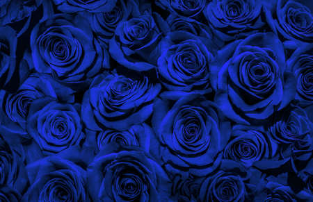 blue roses isolated on a black background.