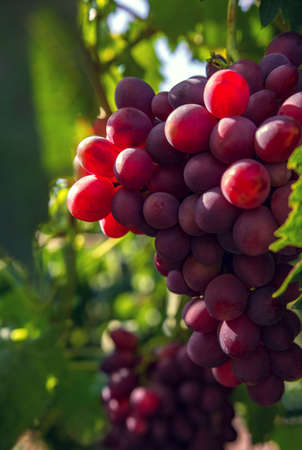 wine grapes, a ripe bunch of dark grapes, in the sun. Vineyards of France.