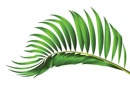 Green leaf of palm tree isolated on white background. coconut isolated vector illustration.