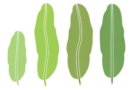 Tropical banana leaf isolated on white background.