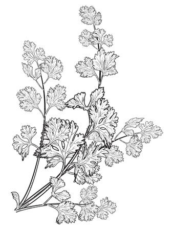 frisches handgezeichnetes Korianderkraut, chinesische Petersilie, Essen, isoliertes Logo, Vektorillustration.