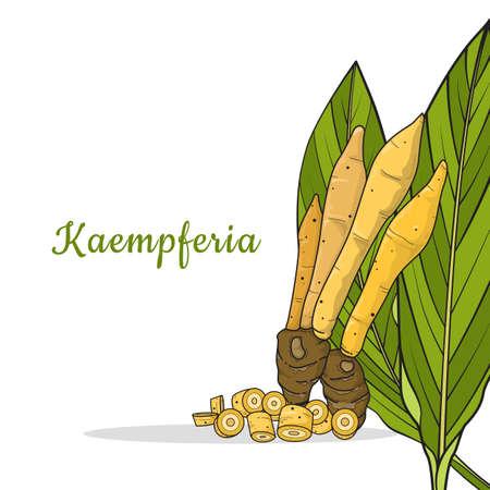 Kaempferia isolated on white background. Thailand herbal medicine plant concept, Icon vector illustration.