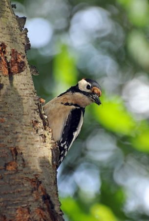 great spotted  woodpecker on a tree photo
