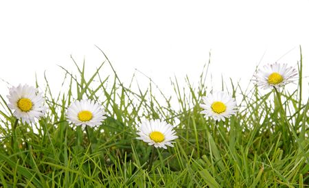 daisies: a meadow with daisies before white background