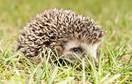 dorsi: young hedgehog in a meadow