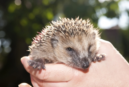 dorsi: young hedgehog sitting on a hand