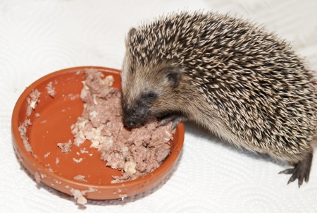 dorsi: young hedgehog eats cat food Stock Photo