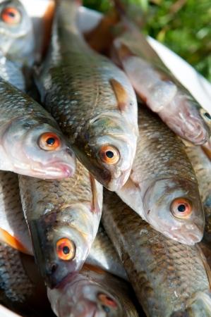 rutilus: freshly caught  roach