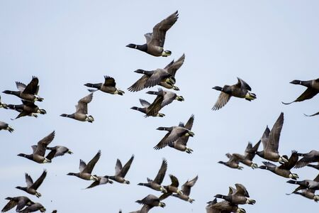 geese and blue sky Stock Photo