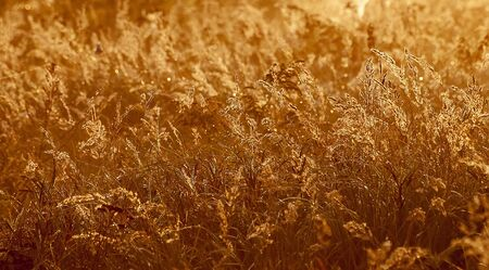 grasses in backlight in the sunrise