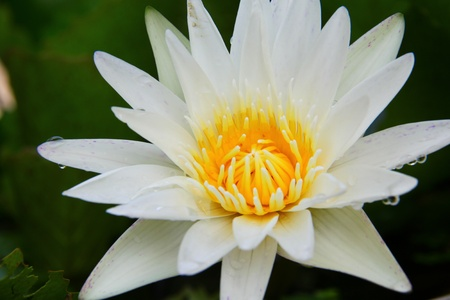 Close-up of white lotus blossom - waterlily Stock Photo