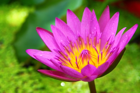 blossom lotus flower in pond; focus on flower