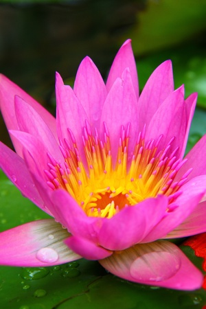 PInk Lotus on the River, Close-up Stock Photo