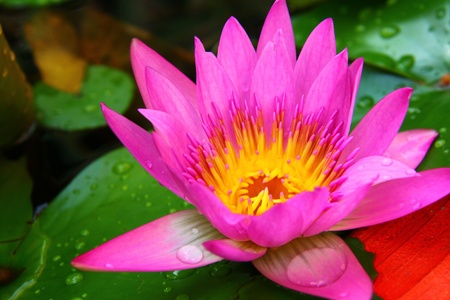 PInk Lotus on the River, Close-up photo