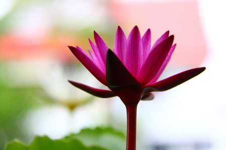 Beautiful pink water lily on the River