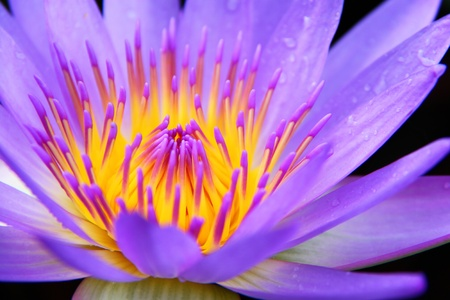 Close - up of purple water lily photo