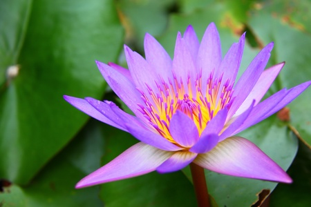 Close up of a pink water lily photo