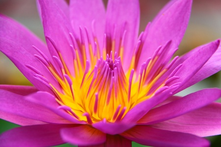 Close - up of a pink water lily flower photo