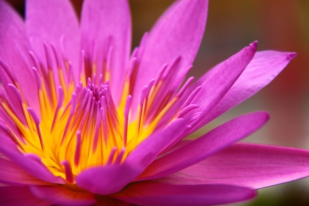 Colorful pink water lily in macro shot photo