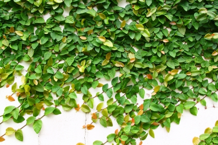 The Green Creeper Plant on a White Wall Creates a Beautiful Background Stock Photo - 17484433