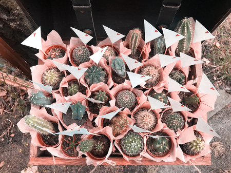 Many different small cactus in a beautiful pink wrappers in a wooden box rustic style Banco de Imagens