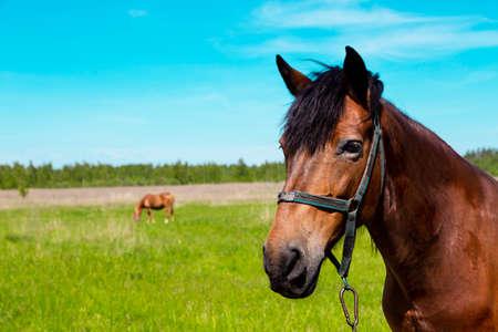 Brown horse portrait at the green grass field in summer. Dark, herbivore.