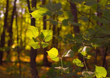 tilo: Las hojas de tilo en el bosque de la ma�ana Foto de archivo