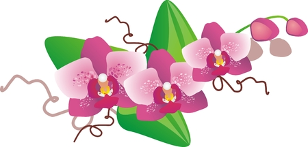 pink orchid: Pink orchid falenopsis
